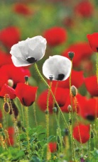 Field of white and red poppies